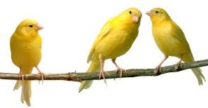 canary pic