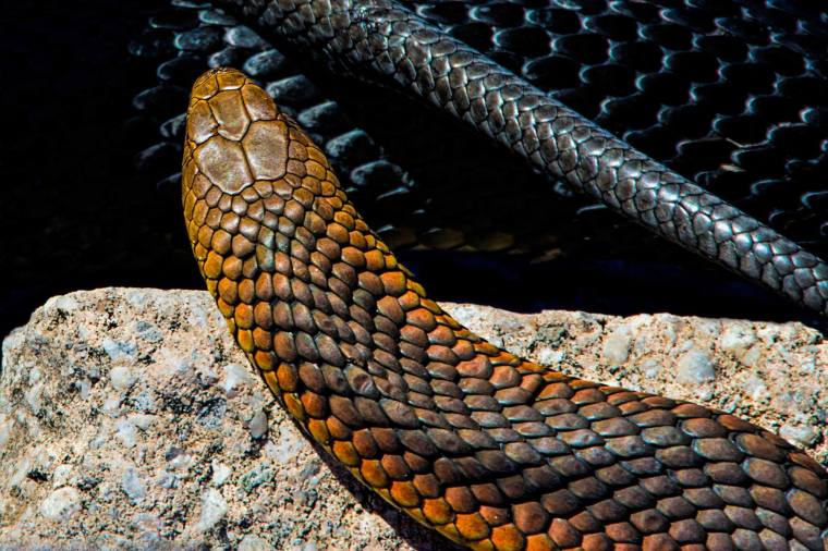 in the snake pen archie archibald 2016