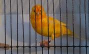 Canary bG