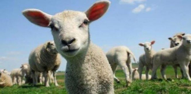 cropped-lambs.jpg