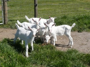 Dairy Goats Pic