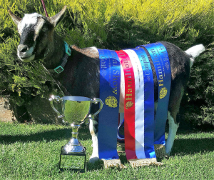 Kirrasumm Kidz Miniature Goats - overall most successful miniature goat exhibitor for 2019(2)